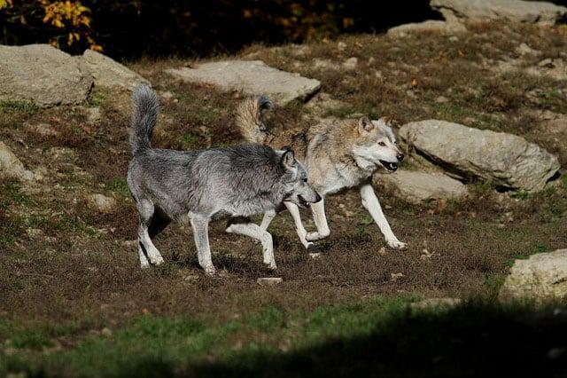 agricoltori di montagna e lupo